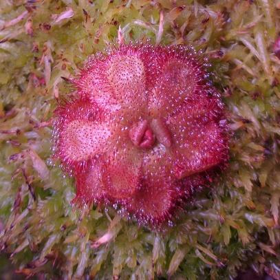 Drosera admirabilis sp. 'floating'